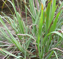 ExtraordinaryLemongrass